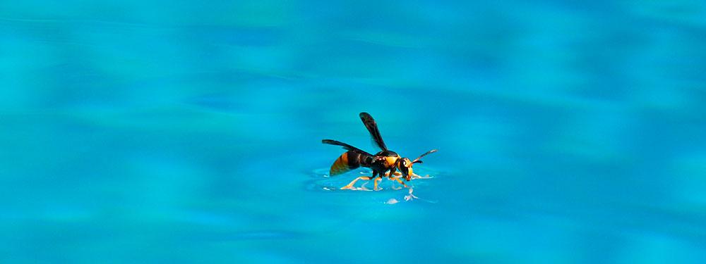 Cómo espantar avispas de una piscina