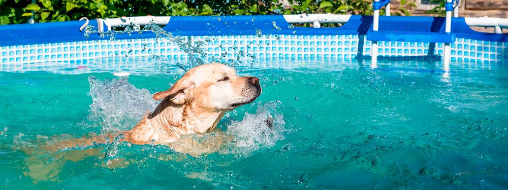 Peligros para perros en la piscina